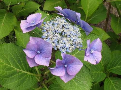 Hydrangea Flower Blue Garden Plant Flowers Bush