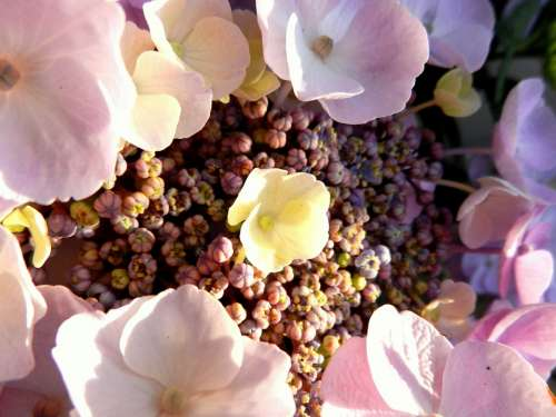 Hydrangea Flower Blossom Rosa Romantic Flora