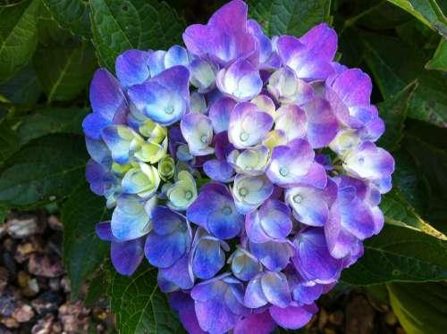 Hydrangea Flower Purple Spring Nature
