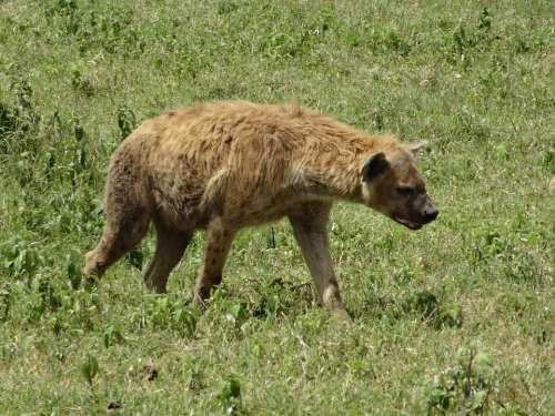 Hyena Hunting Savannah