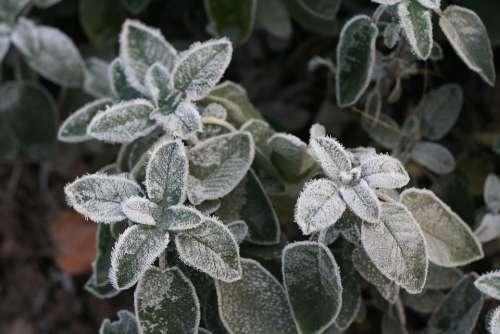 Ice Flower Silver Hoarfrost Sage Herbs Silvery
