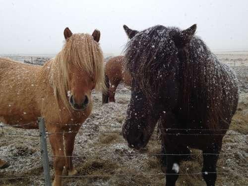 Icelandic Horses Iceland Horses In Snow Horse