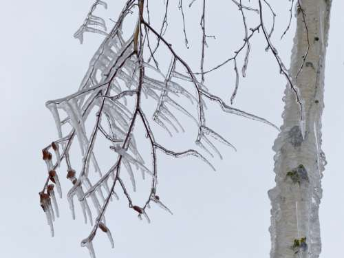 Icicle Cold Icy Winter Branch Tree Close-Up