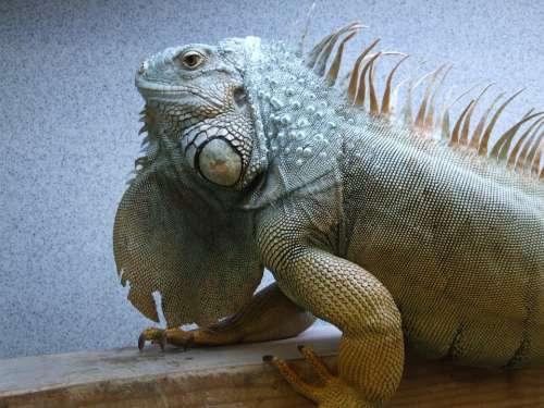 Iguana Adult Male Reptile Lizard Green Animal