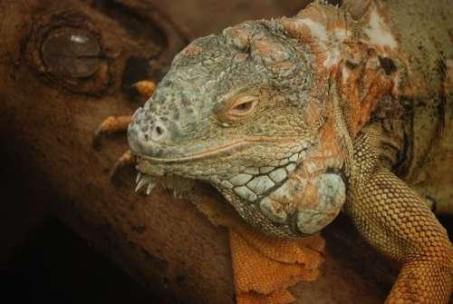 Iguana Lizard Scaly Herbivorous Saurian Head