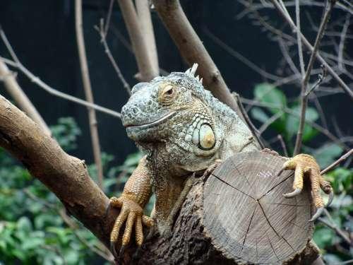 Iguana Head Close Up Animals Zoo Vincennes France