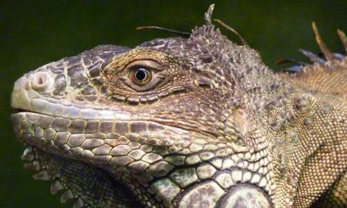 Iguana Reptile Lizard Profile Face Animal Cute