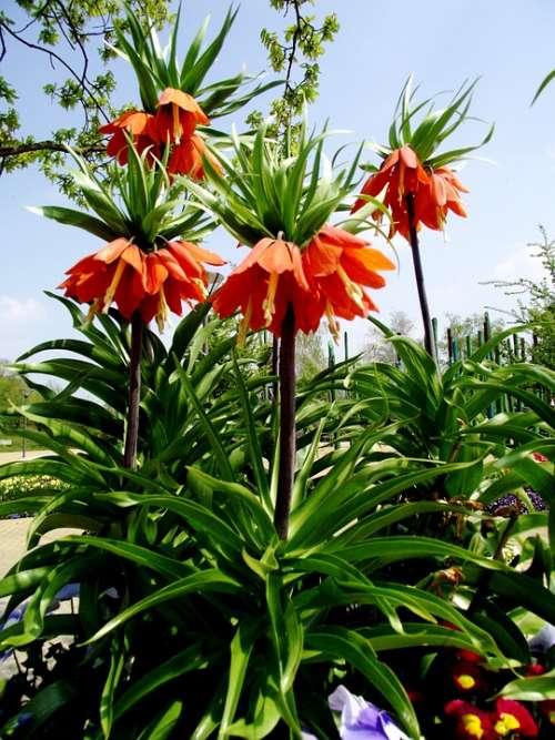 Imperial Flower Flowers Orange Nature Plant