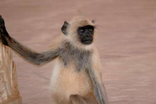India Amber Monkey Animal Wild Animal Mammal