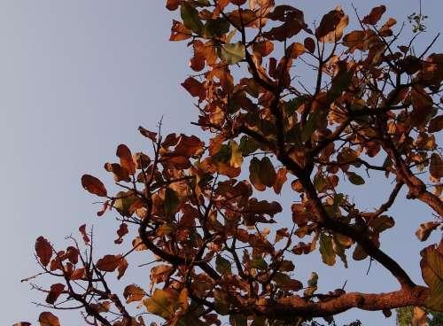 Indian Almond Dried Leaves Terminalia Catappa