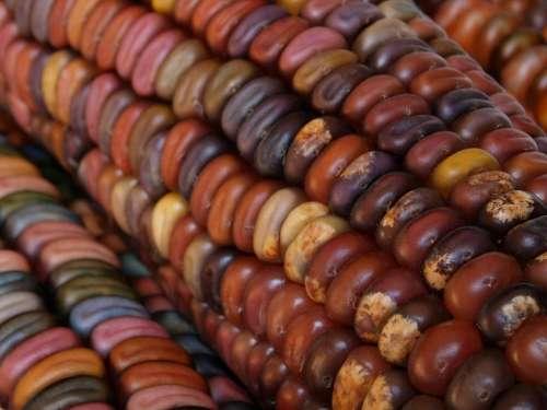 Indian Corn Corn Autumn Fall Harvest Maize