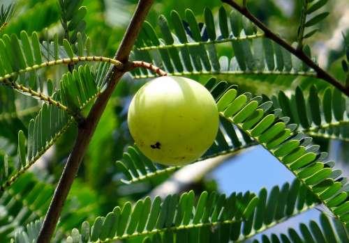 Indian Gooseberry Amla Phyllanthus Emblica