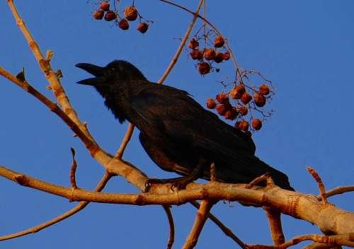 Indian Jungle Crow Corvus Macrorhynchos