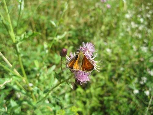 Insect Butterfly Skipper