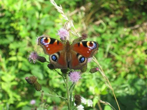 Insect Butterfly Peacock Butterfly Inachis Io