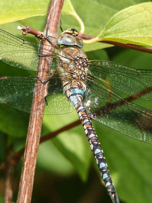 Insect Dragonfly Close Up Blue Eyes Flight Insect
