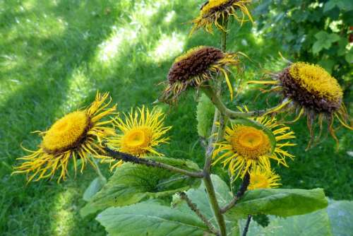 Inula Flower Flowers Yellow