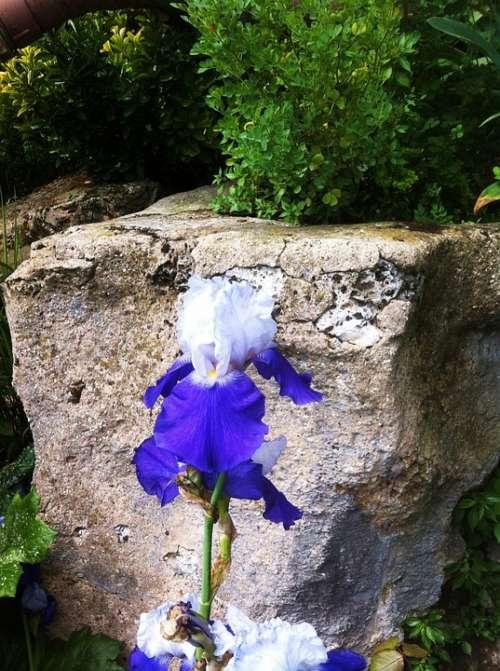 Iris Flower Blue White Nature Stone