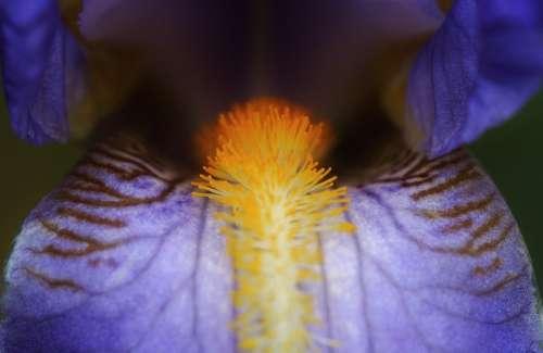 Iris Blue Flowers Close Up Macro Pollen Flora