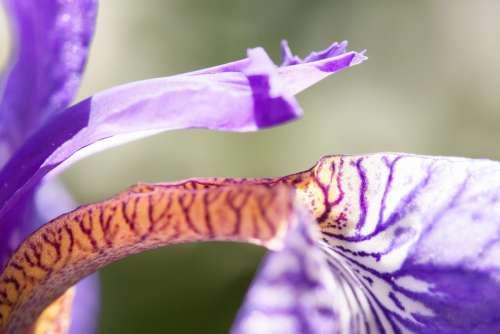 Iris Iris Pseudacorus Purple Iris Plant Iridaceae