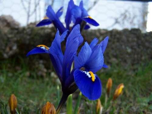 Iris Breeding Iris Schwertliliengewaechs Iridaceae