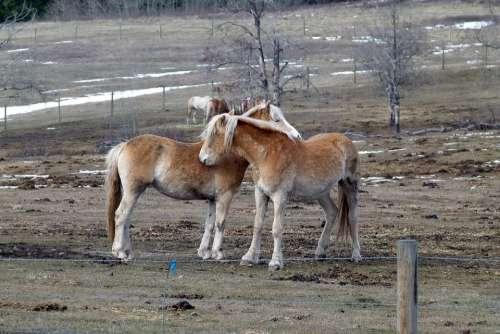 Islaender Horses Animals Field Nature Farmers