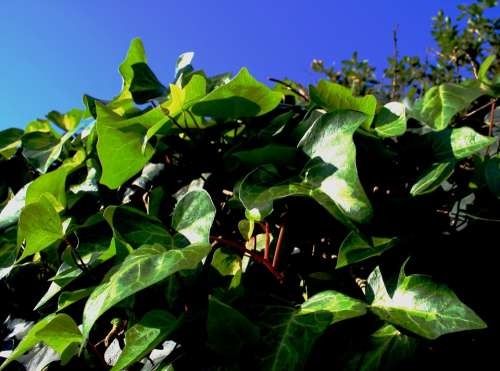 Ivy Climber Green Leaves Sunlight Sky Blue