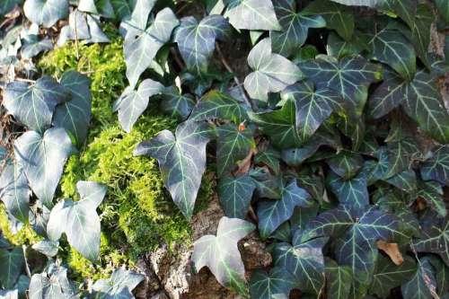 Ivy Climber Plant Entwine Plant Climb Green