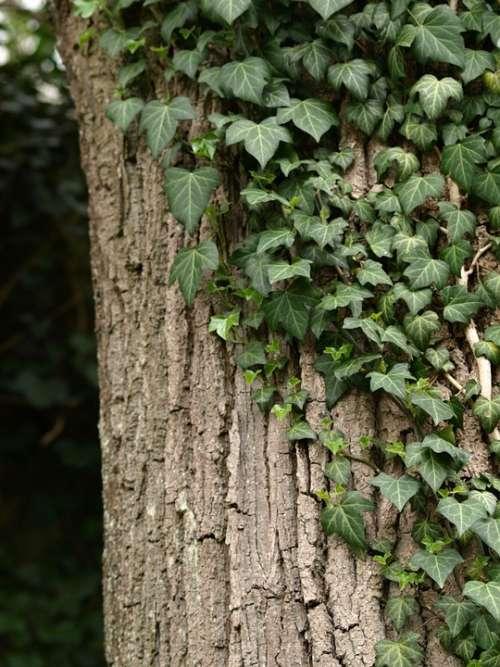 Ivy Tree Ranke Green Climber Plant