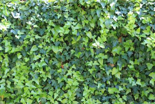 Ivy Green Garden Flora Nature Plant Decorative