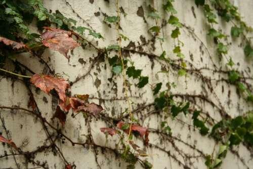Ivy Korea Seoul Leaves Wall Autumn