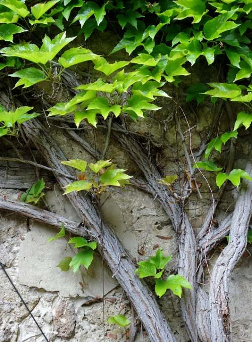 Ivy Leaf Climb Green Wall Nature