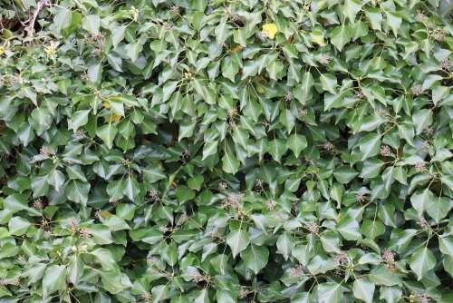 Ivy Green Climber Plant Leaf Plant Ivy Leaves