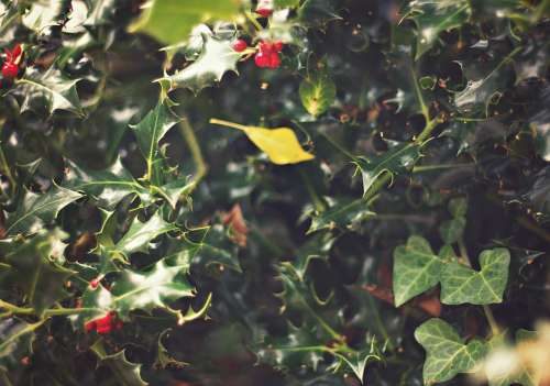 Ivy Holly Plant Nature Floral Seasonal Green