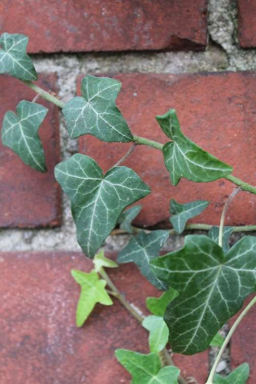 Ivy Clinker Green Red Plant Autumn Nature Stone