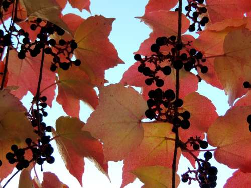 Ivy Autumn Reddish Leaves