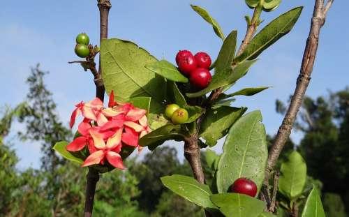 Ixora Coccinea Wild Ixora Flower Berries
