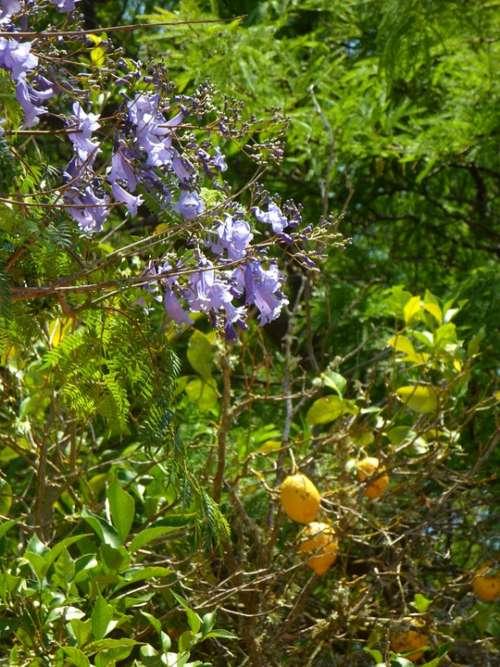 Jacaranda Lemon Tree Garden Mediterranean Plant