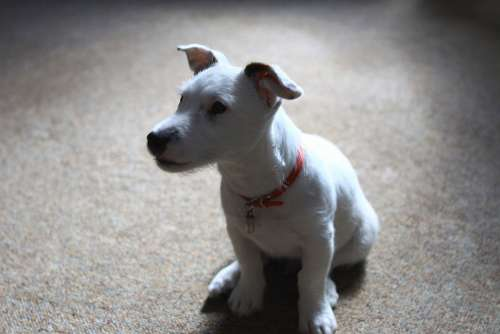 Jack Russell Terrier Puppy Dog Animal