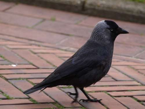 Jackdaw Bird Black Corvidae