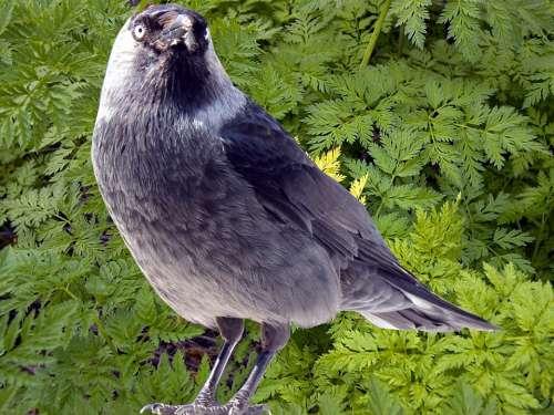 Jackdaw Jackdaws Corvus Monedula Songbird