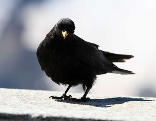 Jackdaw Bird Black Chough Bergdohle Alpine