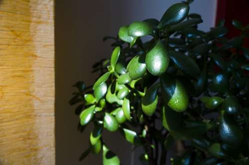 Jade Plant Succulent Green Nature Houseplant
