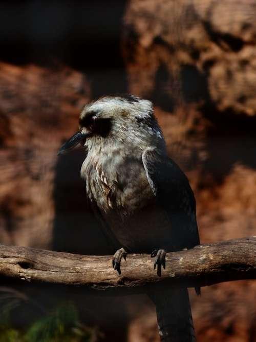 Jaegerliest Bird Kingfisher Dacelo Novaeguineae