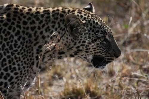Jaguar Tanzania Big Cat Feline Carnivore Fur
