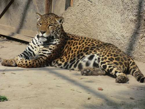 Jaguar Wildlife Nature Animals Feline Zoo