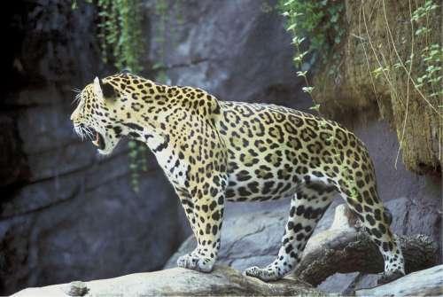 Jaguar Big Cat Feline Mammal Predator Carnivore