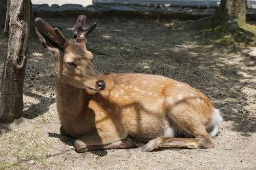 Japan Hiroshima Miyajima Deer