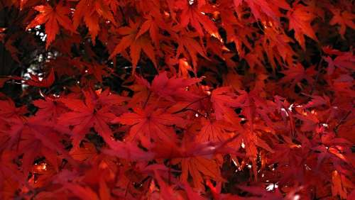 Japanese Maple Red Leaves Of Japanese Maples Tree
