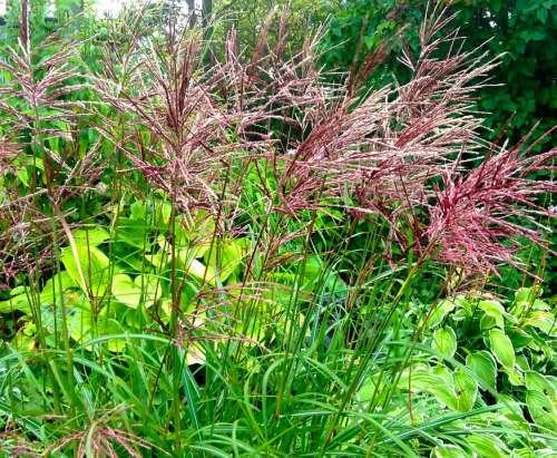 Japanese Grass Perennial Red Ear